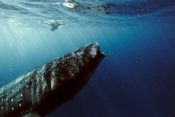 travl7 Surviving the whaleshark