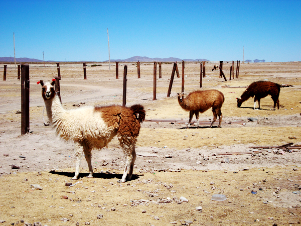 600 alpaca Bolivia –  a visual journey