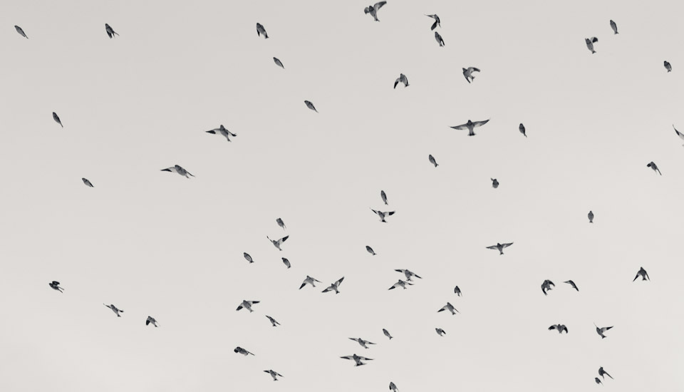 sonic-iceland-isafjordur-birds