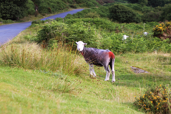 lake district sheep 5 reasons to go to….. The Lake District