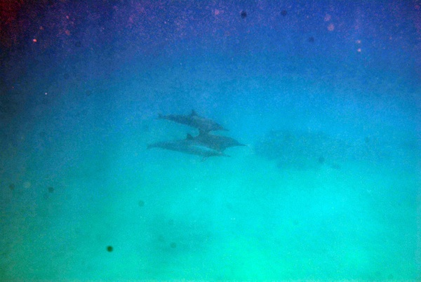 3dolphins Diving with Dolphins in Hawaii