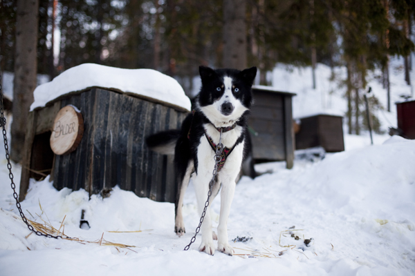 MG 9370 Dogsledding in Hemsedal, Norway
