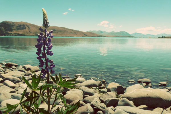 Lake Tekapo Flower Two girls, two islands, one campervan: Camping it up in New Zealand
