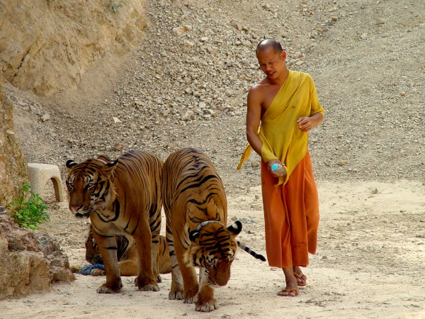 Monk with Tigers1 600x450 Kanchanaburi: Playing with Tigers