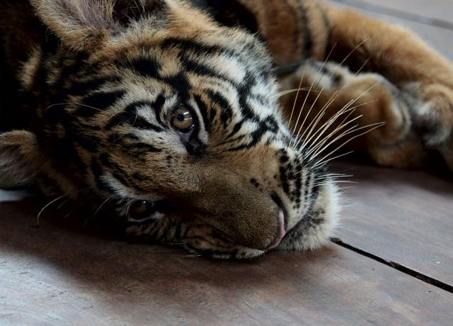 Kanchanaburi: Playing with Tigers