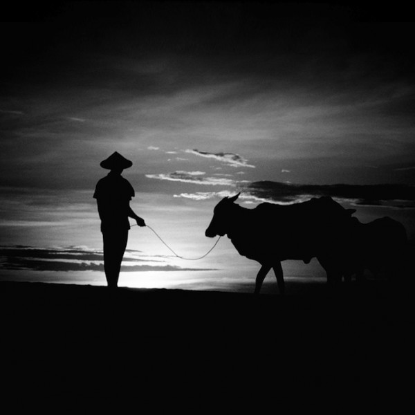 man and cow 600x600 Through the eyes of... Hengki Koentjoro