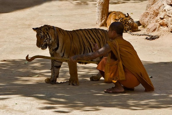 tattooed monk 600x400 Kanchanaburi: Playing with Tigers