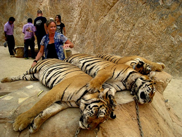 three tiggers 600x450 Kanchanaburi: Playing with Tigers