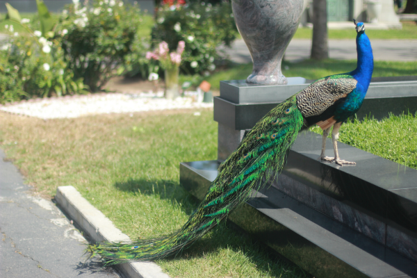Peacock ii_Hollywood Forever Cemetary
