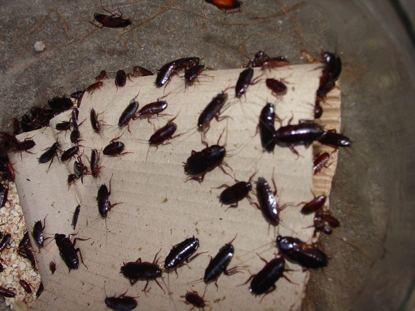 mass of oriental cockroaches 2592x1944 600x450 The Horror Hostel Tales