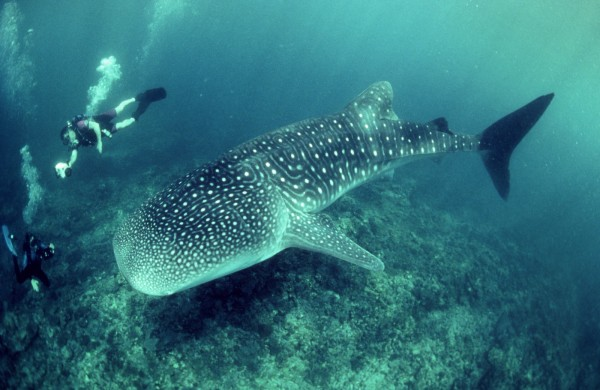 Divers Photograph Whale Shark