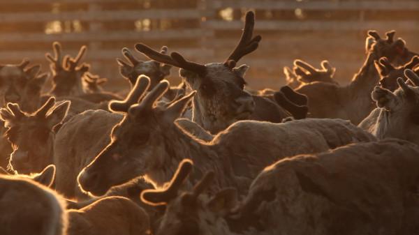 aatsinki arctic cowboys reindeer herding finland