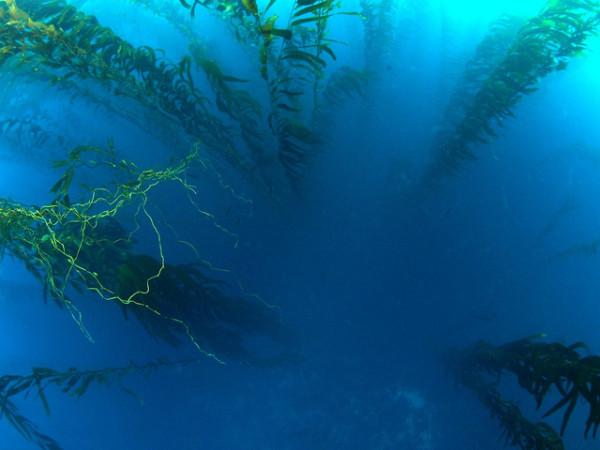kelp forrests