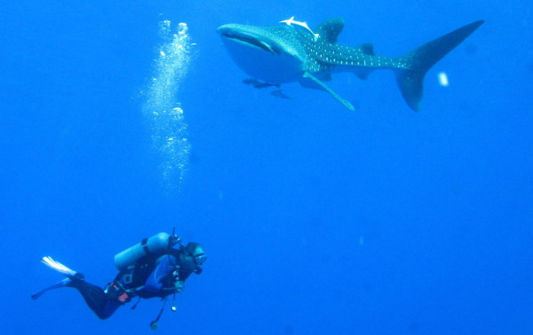 wikipeida whale shark 600x377 Diving in the Red Sea, Egypt