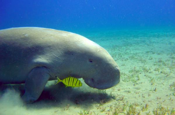 10 Awesome Kayaking Spots in Australia - Moreton Bay, Dugong