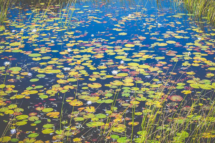 Budget Safari - Kafue National Park - Kathi Kamleitner - Water Lilies