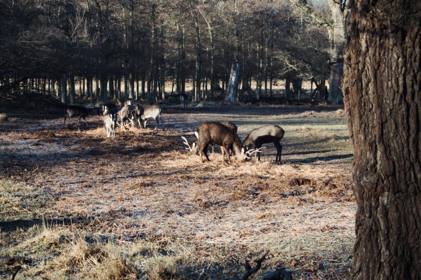 deer dyrehaven