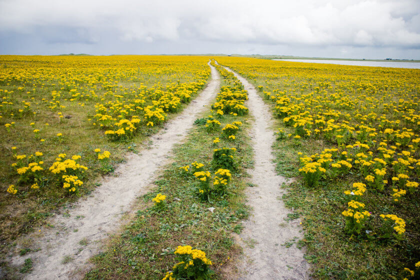 The trail through a field of yellow flowers on South Uist.