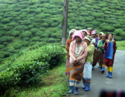 Darjeeling: living in the clouds