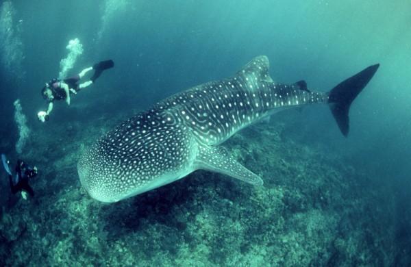 Divers Photograph Whale Shark