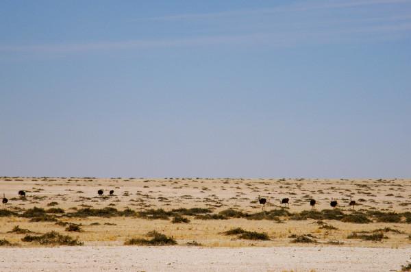 Ostriches Desert