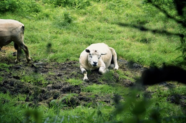sheep_farm_wales
