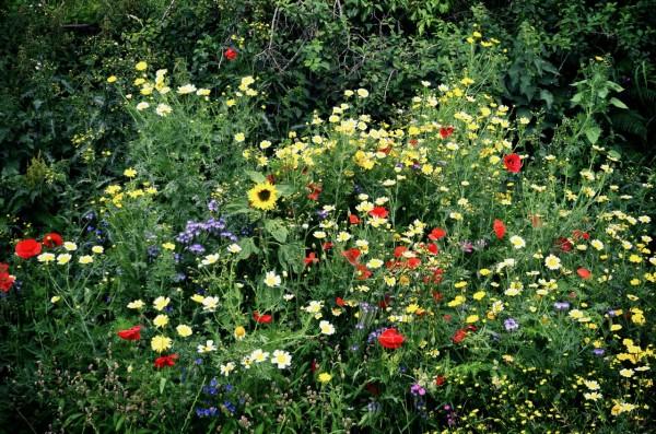 wild_flowers_wales