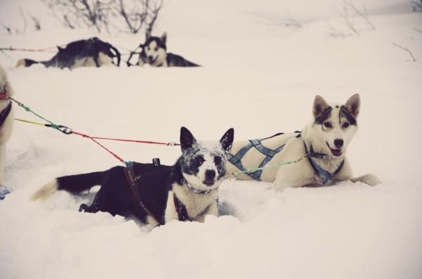 Husky Dogs by Emma Sleight