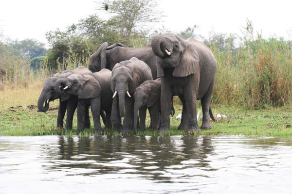 malawi - elephants by shire river - via st georges