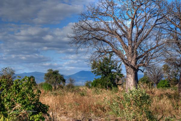 malawi - baobab trees - derek winterburn