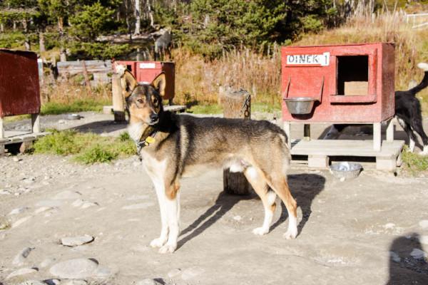 trondelag roros huskies - kathi kamleitner