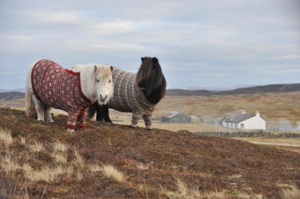 shetland-ponies-cardigans5