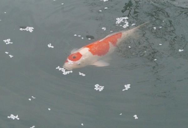 The Colours of Japan - Nina Bayne - koi pond