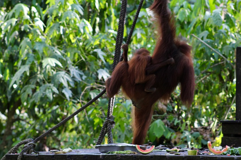 borneo-wildlife-intrepid-travelettes20150727_0290