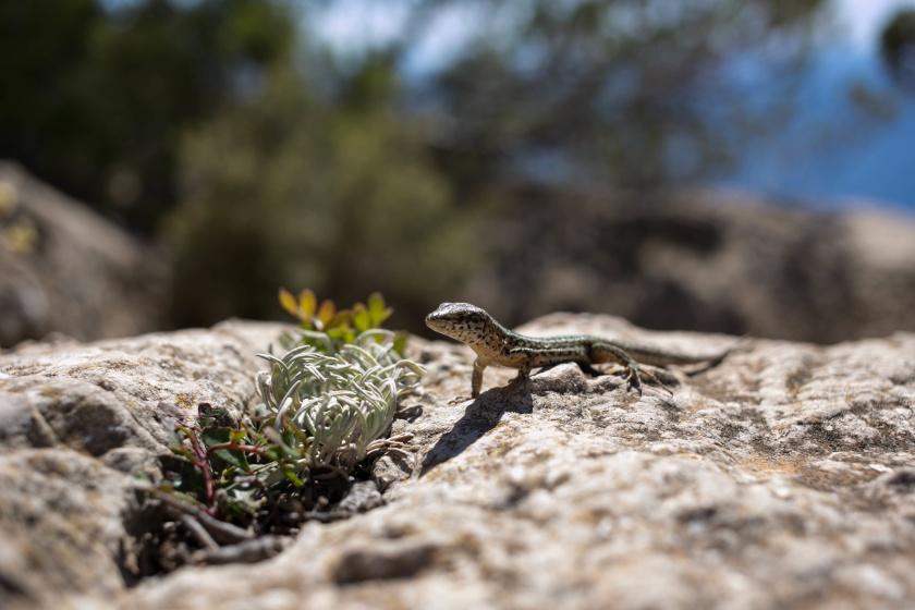 surviving insect bites - gecko, travelettes