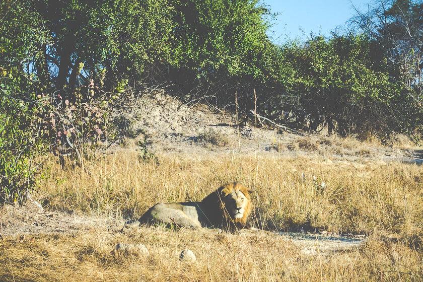 Budget Safari - Kafue National Park - Kathi Kamleitner - Lion