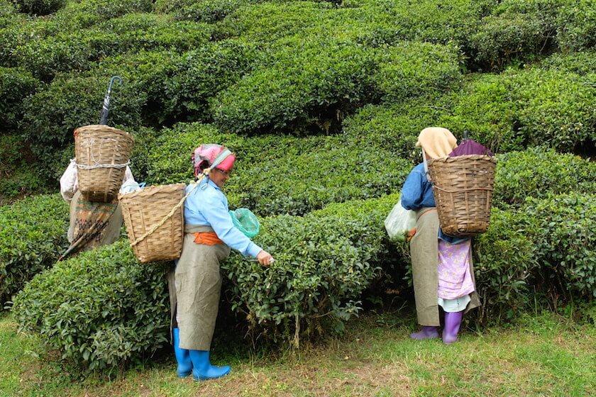 5 Reasons to visit Darjeeling - Tea Pickers | Travelettes.net