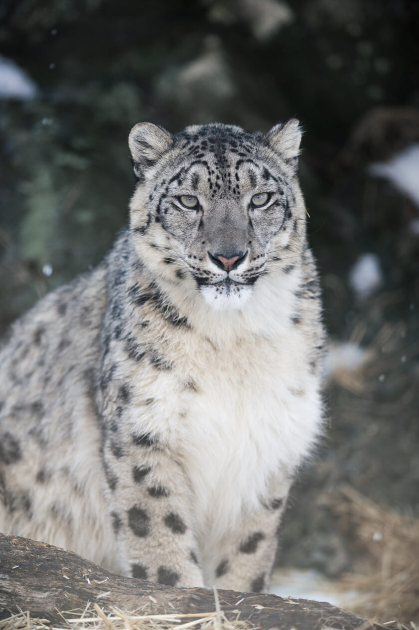 The chances of spotting a snow leopard are the same as seeing an angel falling from the sky. And yet a trip to the Himalayas might be your best bet!
