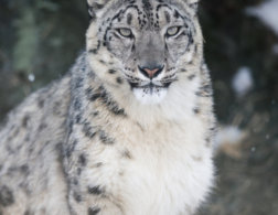 On a Himalayan Adventure: The Story Of the Snow Leopard