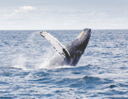 A Kingdom for a Whale - A Travel Story from Tonga