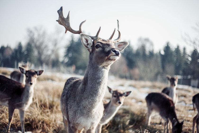 deer copenhagen