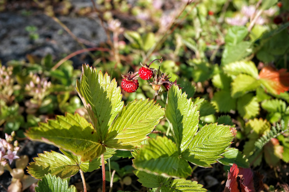 Wild Strawberries in Sweden