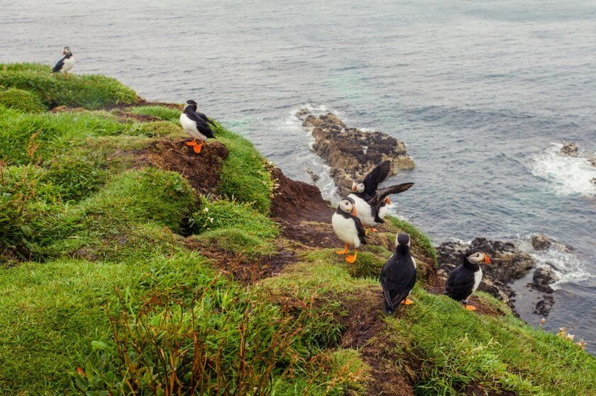 Puffins on the cliffs of the Isle of Lunga in Scotland.