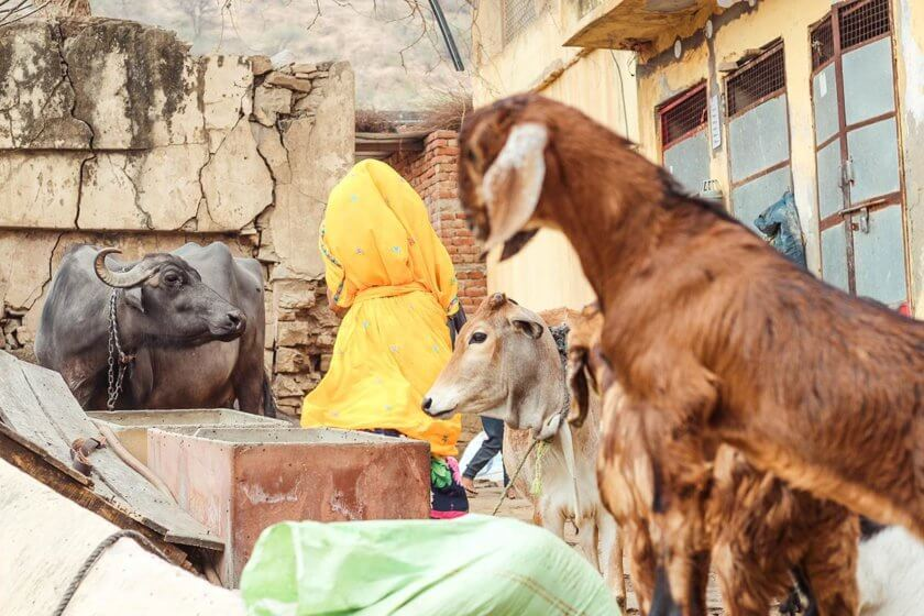 Indian woman and livestock