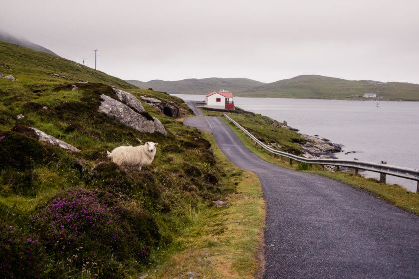 A sheep by the road on Vatersay.